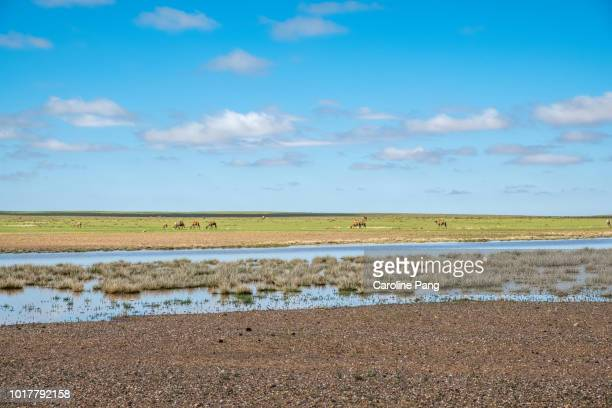 Summer in the steppes of central Mongolia. A herd of Bactrian camels can be seen grazing in the open space.