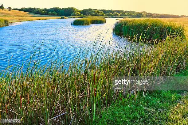 summer lake and cattails - lubbock stock pictures, royalty-free photos & images