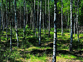 summer landscape birch grove forest natural
