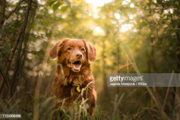 summer light - nova scotia duck tolling retriever stock pictures, royalty-free photos & images