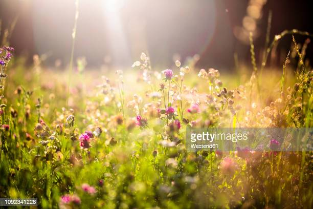 summer meadow at evening twilight - blumen stock-fotos und bilder