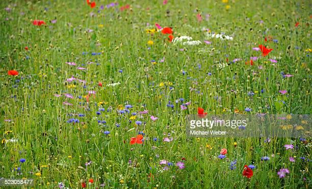 Summer meadow, Cornflower -Centaurea cyanus-, Yarrow -Achillea-, Mallow -Malva-, Yellow Daisies -Leucanthemum-, Poppy -Papaver rhoeas-
