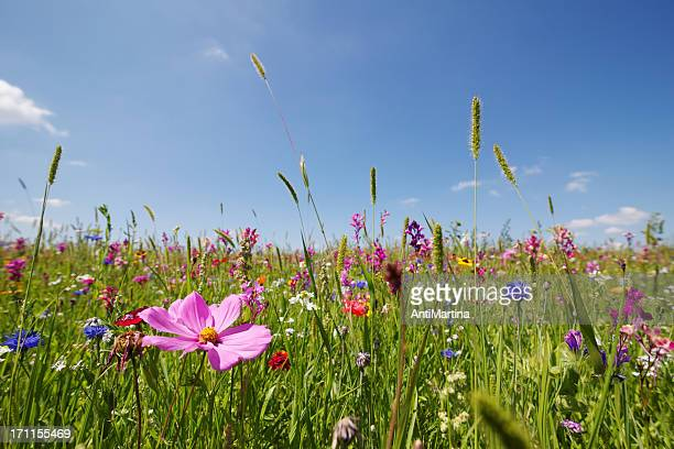 summer meadow - flower head stock pictures, royalty-free photos & images