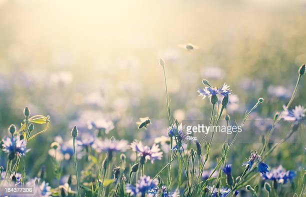 summer meadow - wildflower stock pictures, royalty-free photos & images