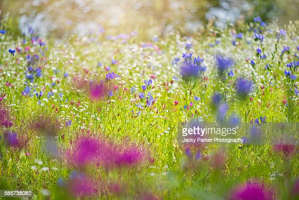 summer meadow - meadow stock photos and pictures