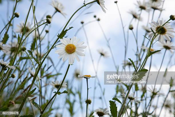 summer meadow with marguerites - heinz baumann photography stock-fotos und bilder