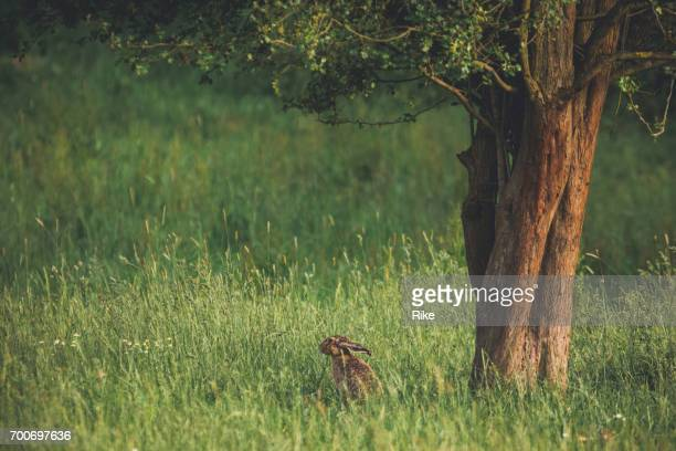 summer meadow with rabbit under the tree - lepre comune foto e immagini stock