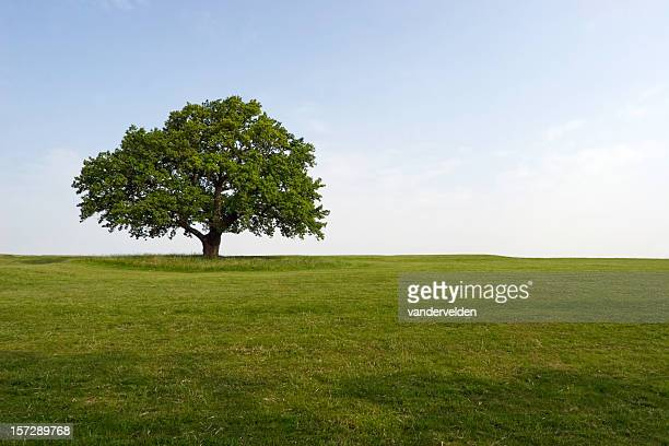 summer oak - durability stock photos and pictures