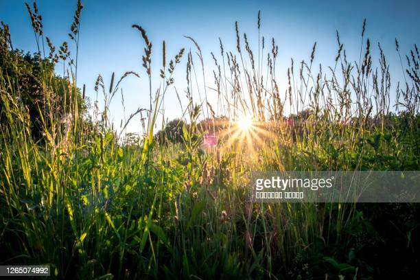 summer or autumn landscape. sun rays at sunset through the grass and flowers in the field. grass field with sunny background. russia, vladimir - animals in the wild stock pictures, royalty-free photos & images