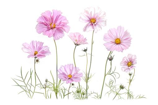 Summer pink Cosmos Flowers - gettyimageskorea