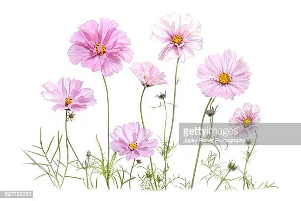 summer pink cosmos flowers - cosmos flower stock photos and pictures