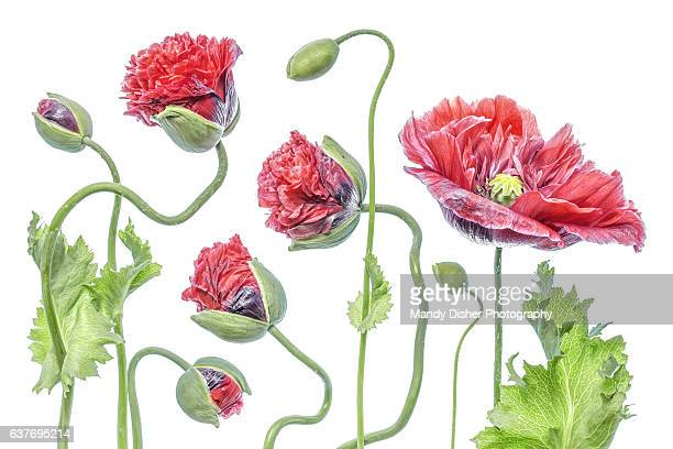 Poppy flower leaves stock photos and pictures getty images summer poppies mightylinksfo