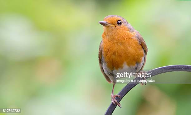 summer robin - birdsong stock pictures, royalty-free photos & images