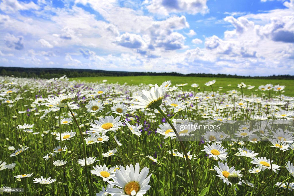 summer rural landscape with a blossoming meadow : Stock Photo