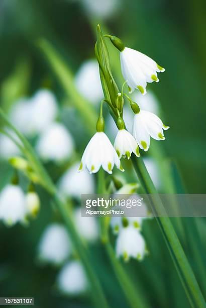 Sommer Schneeflocken-Blumen
