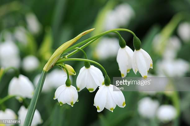 summer snowflake flowers - leucojum aestivum - snowdrop stock pictures, royalty-free photos & images