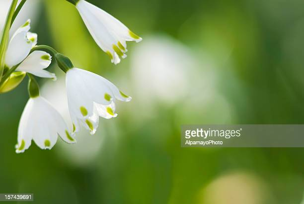 Sommer Schneeflocken-Blumen-VI.