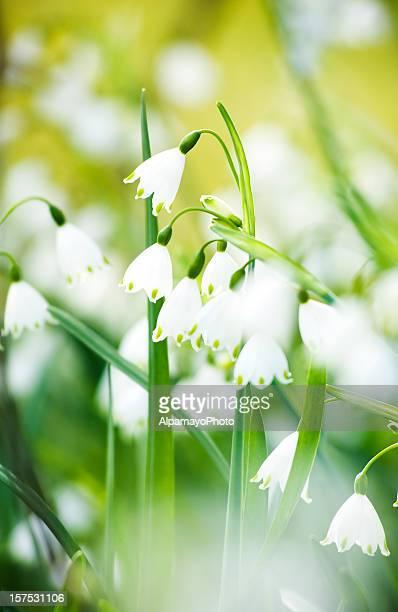 Summer Snowflake flowers - VIII