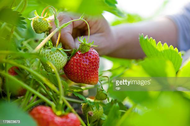 summer strawberry picking - strawberry stock pictures, royalty-free photos & images