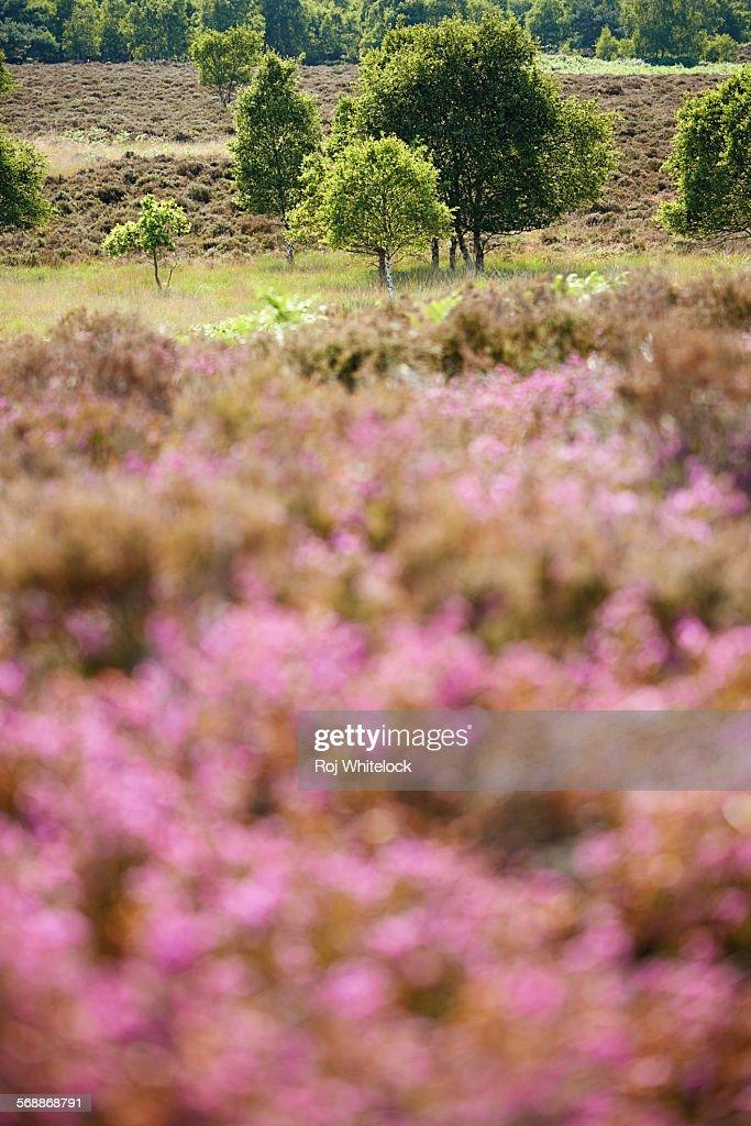 Summer sunlight across Westleton Heath : Stock Photo