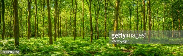 summer sunlight warming green forest fern foliage idyllic clearing panorama - woodland stock pictures, royalty-free photos & images