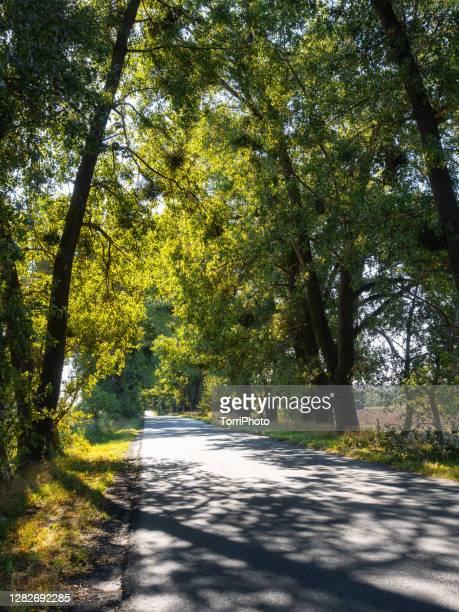 summer sunny landscape with asphalt road through tall trees grove - ウクライナ トンネル ストックフォトと画像