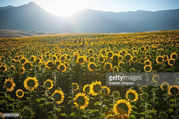 summer sunrise over sunflower field - florida estados unidos fotografías e imágenes de stock