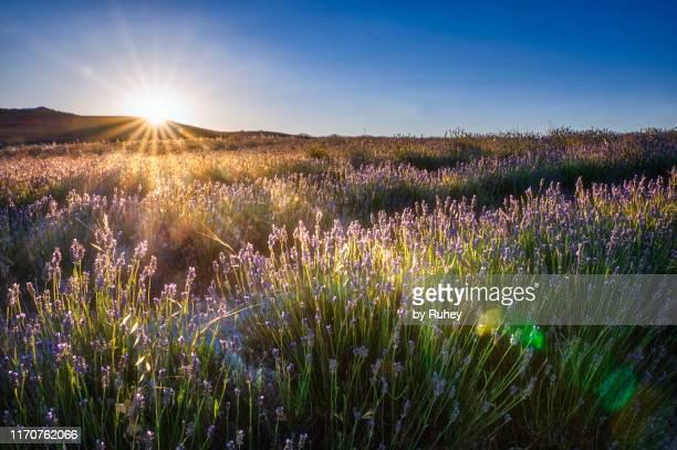 summer sunset on a lavender field - castilla y león bildbanksfoton och bilder