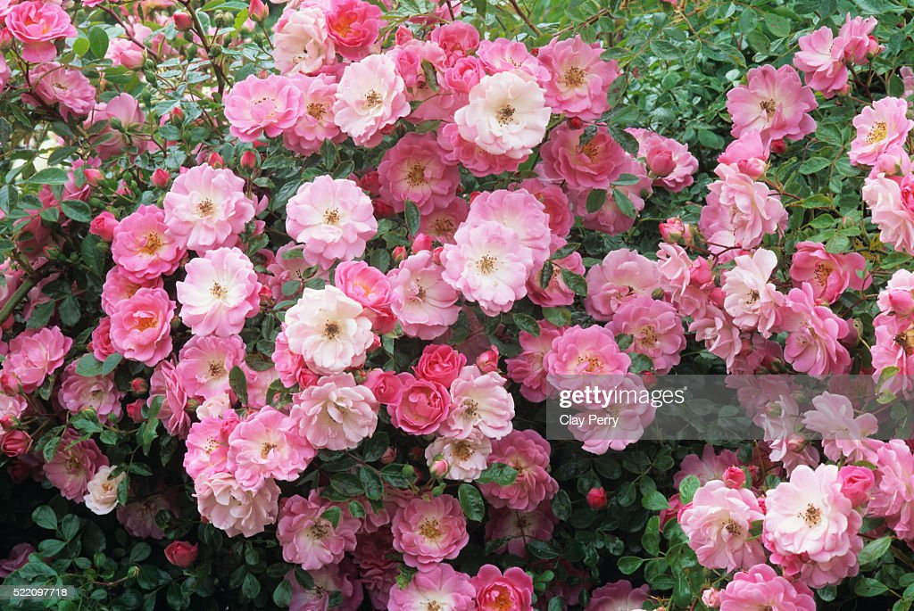 Summer Sunset Roses : Stock Photo