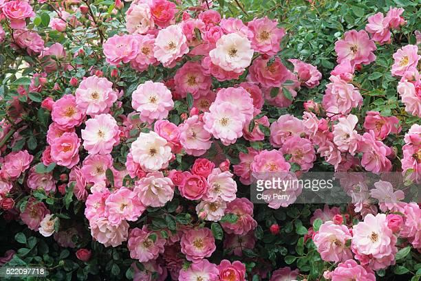 Summer Sunset Roses