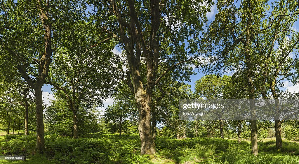 Summer sunshine in green oak forest idyllic woodland : Stock Photo
