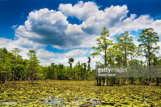 Summer swamp scene with cypress trees and blooming lilly pads