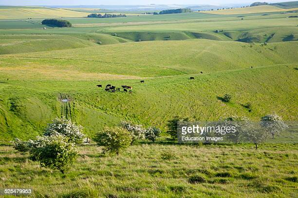 Summer view of grass grazing fields and chalk landscape from Cherhill Down Wiltshire England