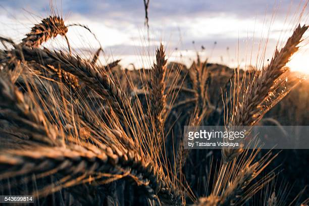 Summer vintage background with close-up wheat ears