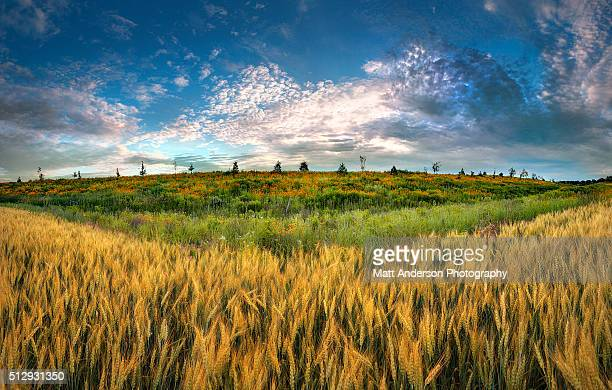 summer wheat field - great plains stock pictures, royalty-free photos & images