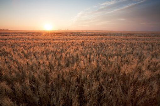 Summer Wheat Field Saskatchewan Canada 881031050