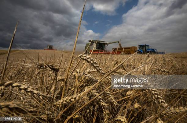 summer wheat harvest - combine harvester stock pictures, royalty-free photos & images