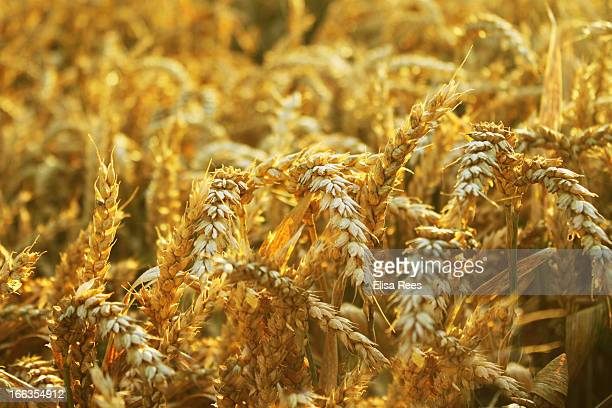 CONTENT] Summer wheat/cereal crop ripe and ready for harvest Taken in the UK