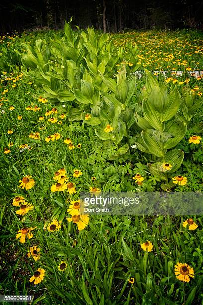 summer wildflowers and corn lilies - カリフォルニアバイケイソウ ストックフォトと画像