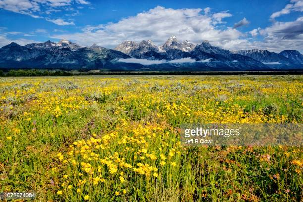 summer wildflowers in jackson hole - grand teton national park stock pictures, royalty-free photos & images