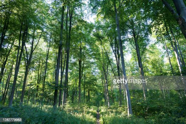 summer woods in england - human interest stock pictures, royalty-free photos & images