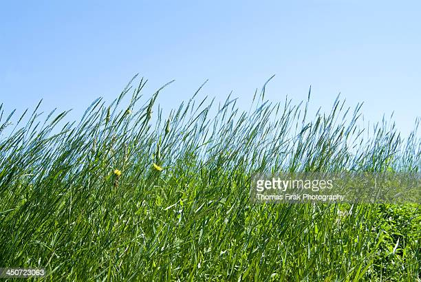 summertime grass and blue sky -  firak stock pictures, royalty-free photos & images