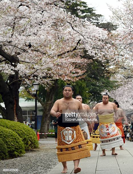 sumo wrestlers walk under cherry blossoms during a 'honozumo' a ceremonial sumo exhibition at the Yasukuni shrine in Tokyo on April 3 2015 Sumo...
