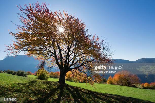 sun and autumn colored tree - nature stockfoto's en -beelden