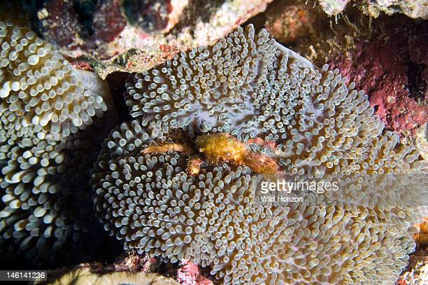 Sun anemone and crab Stichodactyla helianthus Curacao Netherlands Antilles Digital Photo