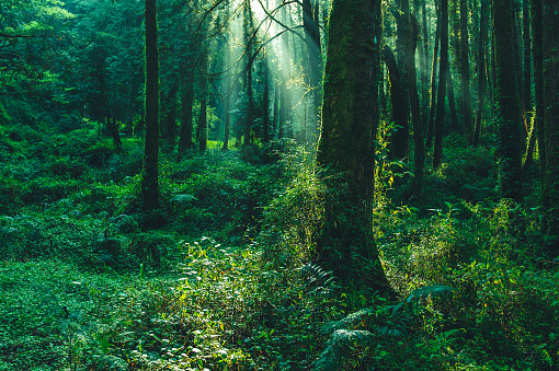 sun beams in the forest 1083893950