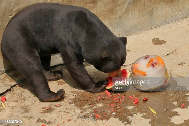 A sun bear eats chilled watermelon at a zoo on July 29 2019 in Yantai Shandong Province of China