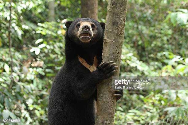sun bear holding tree - island of borneo stock pictures, royalty-free photos & images
