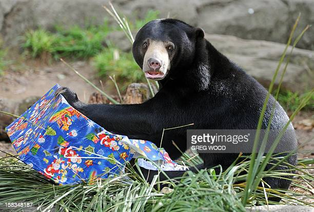 A Sun Bear plays with a Christmas present at Taronga Zoo in Sydney on December 14 2012 In the lead up to Christmas a selection of the zoo animals...