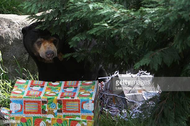 Sun Bear receives a Christmas treat at Taronga Zoo on December 14 2012 in Sydney Australia Taronga Zoo celebrated Christmas early giving...